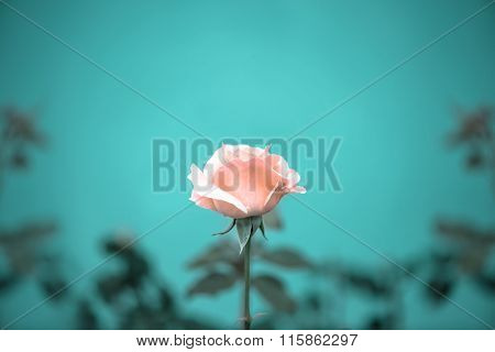 Beautiful Romantic Pink Rose Flower On Toned Green Blur Background, Vintage Style