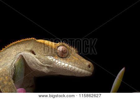 Gecko on Black Background