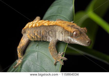 Gecko on Leaves