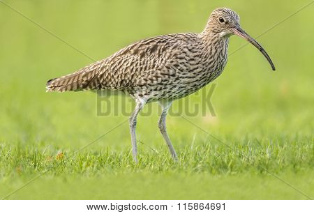 Curlew Numenius arquata Curlew standing on the grass