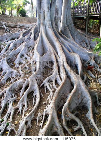 Winding Tree Roots