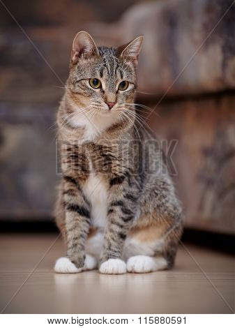 The Striped Cat With White Paws