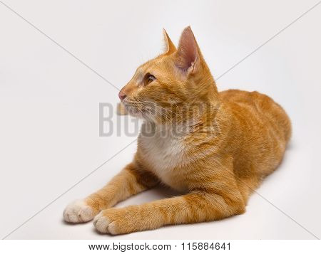 Thailand Cat ,