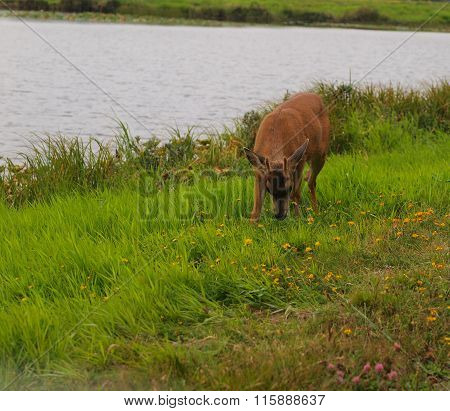 A Black Tailed Deer By The Side Of A Pond