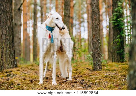 White Borzoi, Hunting dog in Spring Summer Forest. These dogs sp