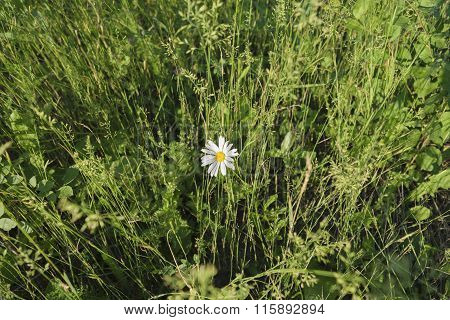 Single White Daisy Flower Among The Thickets Of Green Grass