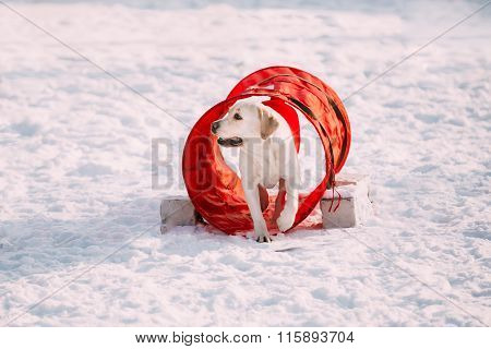 Young funny labrador dog playing in snow,  winter season.