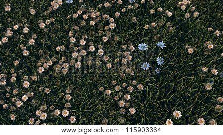 chamomiles in field