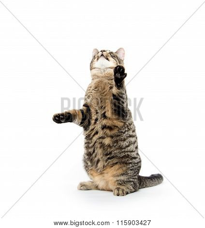 Cute Tabby Playing On White
