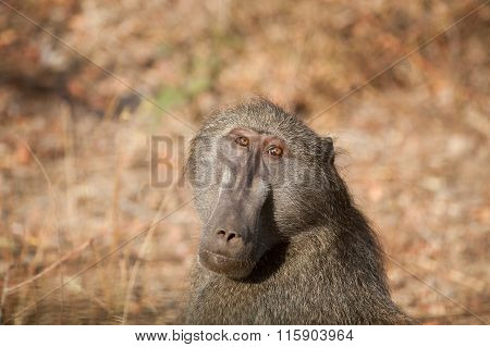 Baboon In Kruger National Park