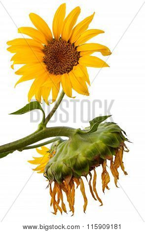 New And Old Sunflowers Isolated On White