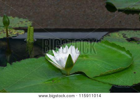 Lotus Flower White Color