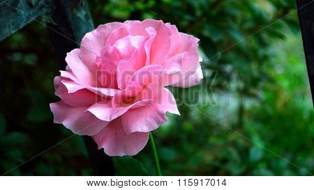Old-fashioned Pink Rose Letterbox Format