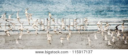 Flock Of Sooty Terns