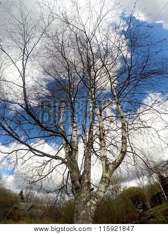 Birch on a blue sky background in the early spring branches without leaves