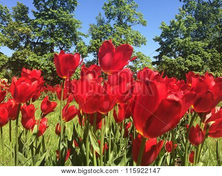 The bright red blossoming tulips