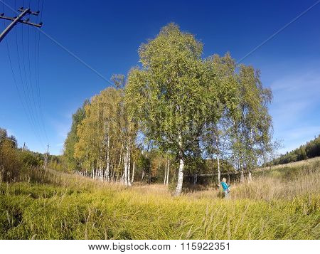 Birches in the field against the blue sky in the sunny autumn day