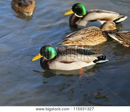 Beautiful Ducks And Drakes