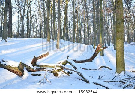 Forest covered with snow in wintertime