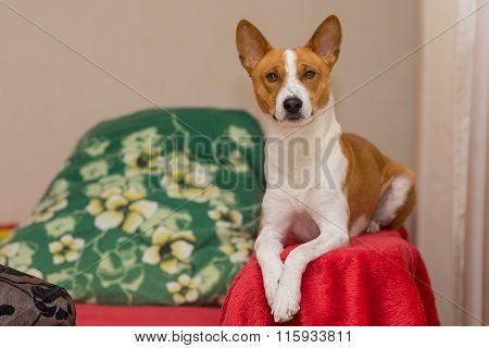 Indoor portrait of basenji lying on red bedspread