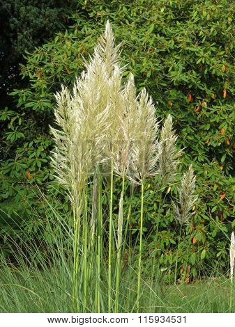 Fluffy Pampas Grass