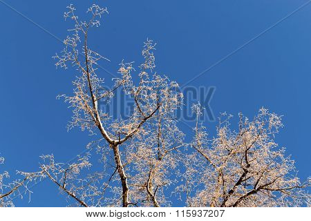 Winter Frosted Tree And Blue Sky