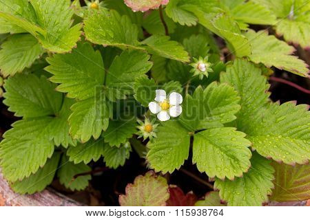 Strawberry Plant Flower And Foliage