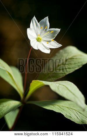 Arctic starflower bloom