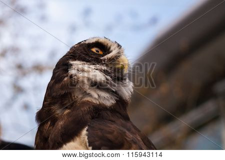 Spectacled Owl Profile Low Angle From Below Horizontal