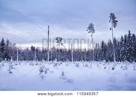 Winter morning in the forest