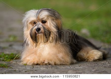 Cute Young Havanese Dog Lying On A Paved Road In Soft Sunlight