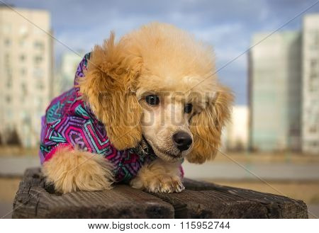 Puppy Toy Poodle, Peach Color, Looking Wary. Pet