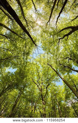 Lush beech forest canopy