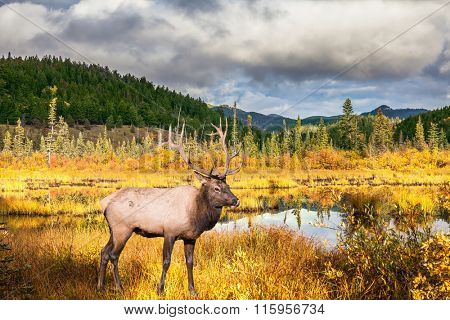 Multi-color autumn woods are reflected in the lake. Red deer with branchy horns costs on the bank of charming lake. Rocky Mountains, Canada