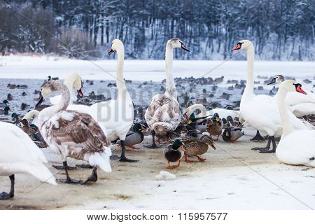 Swan and ducks on frozen river