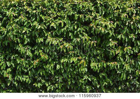 Green Hedge Background