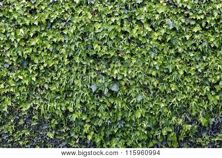 Ivy Covered Wall Background