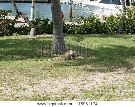 Green Iguana With Orange Spine Near The Marina