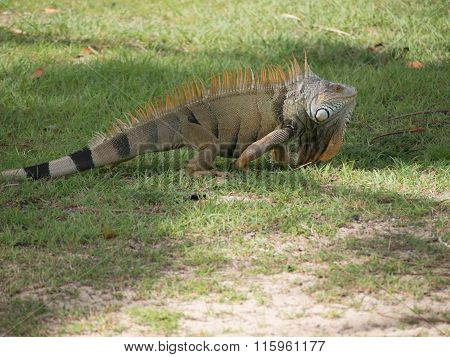 Green Iguana With Orange Spine