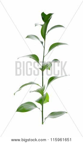 Ruscus, Butcher's Broom Ruscus Aculeatus, Florists Foliage