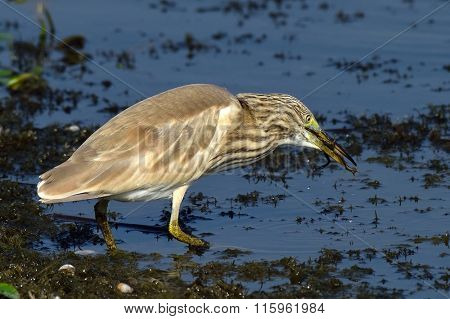 golden heron in natural habitat (ardeola ralloides)
