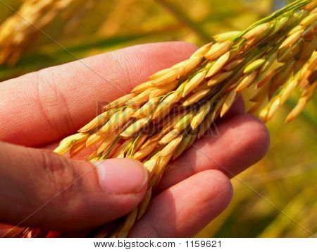 Hand  Rice