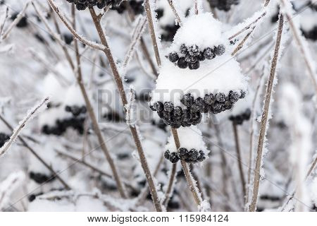 Winter Berries Of A Black Mountain Ash With The Snow