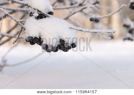 Winter Tuft Of A Black Mountain Ash With The Snow