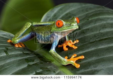 Tree Frog on Leaves