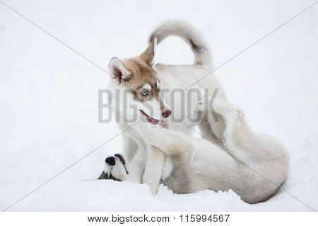 Playful Husky Puppies
