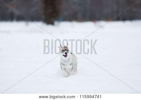 Running Husky Puppy