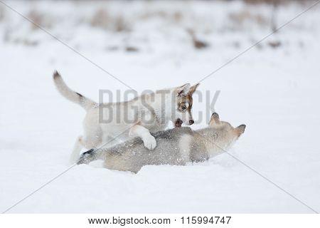 Playful Husky Puppies