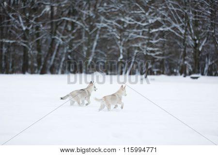 Running Husky Puppies