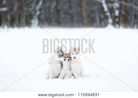 Portrait Of A Three Husky Puppies